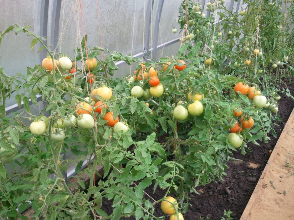 Как сделать помидоры в огороде 904